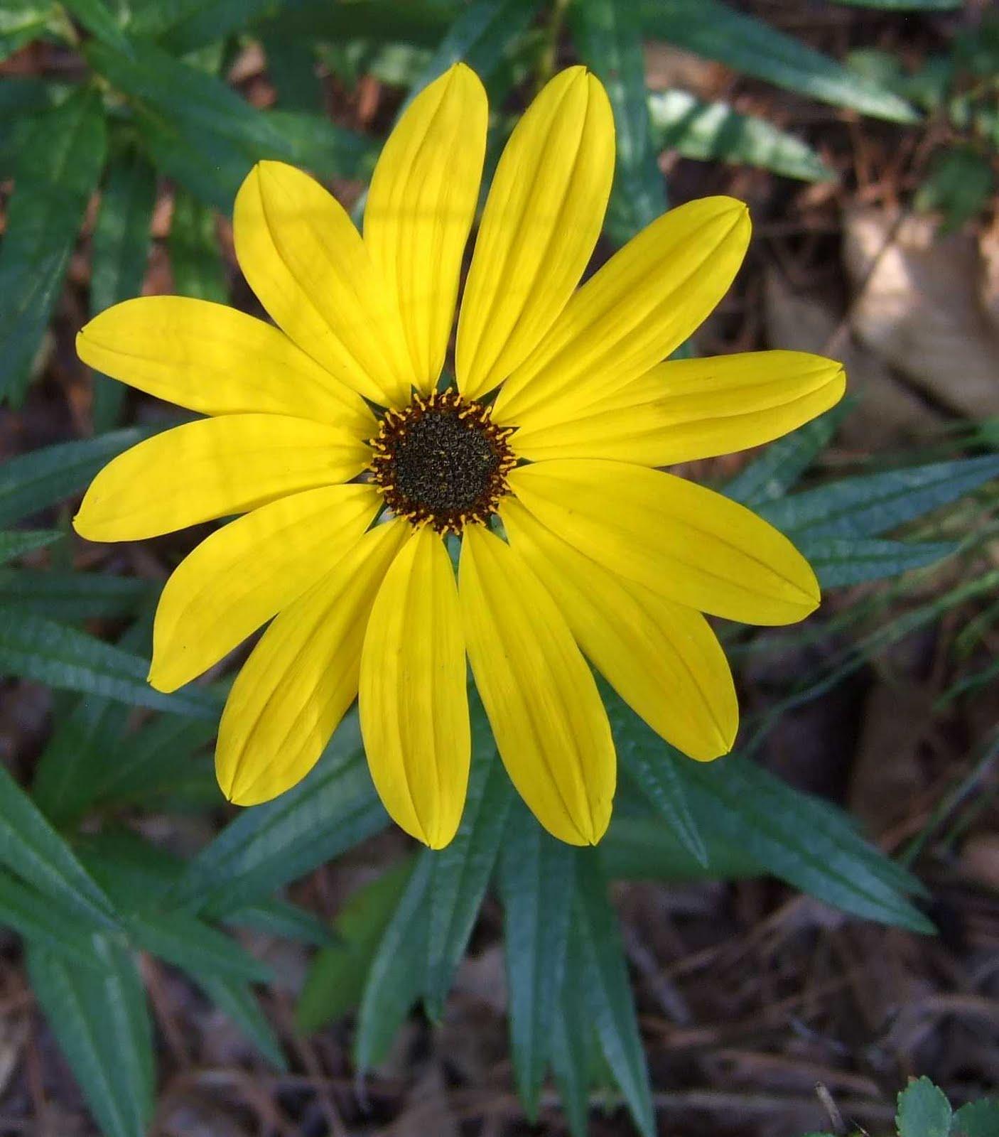 Using Georgia Native Plants Late Summer Yellows