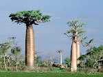 Baobá- árvore da vida