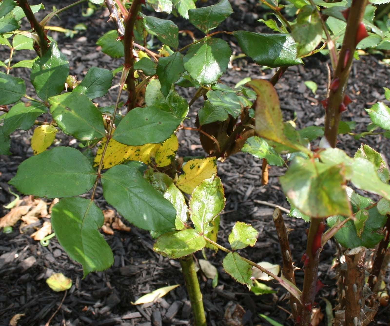 Our Garden Journal: Controlling Blackspot Without Toxic Chemical ...