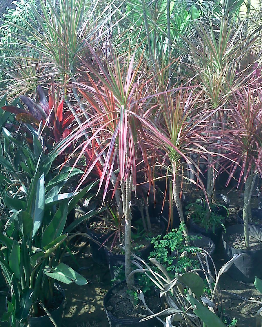 Paisagismo e floricultura plantas de sol - Plantas pleno sol ...