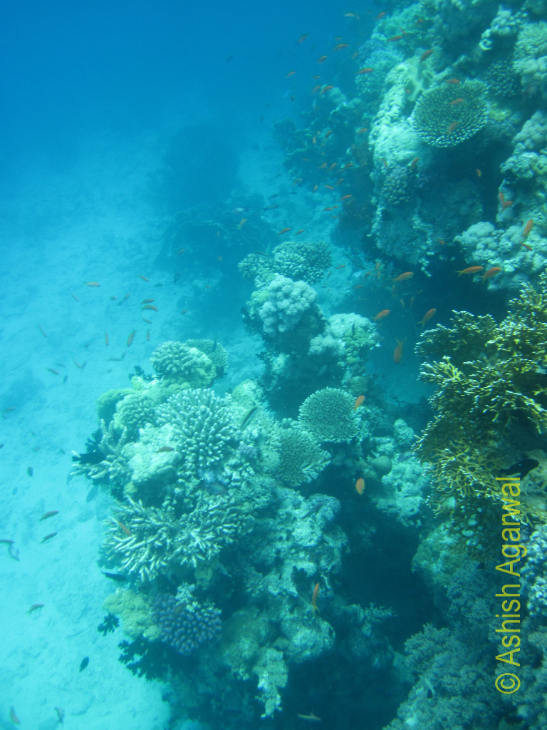 Coral reefs of different shapes and colors below the water surface, part of the Ras Muhammad marine park