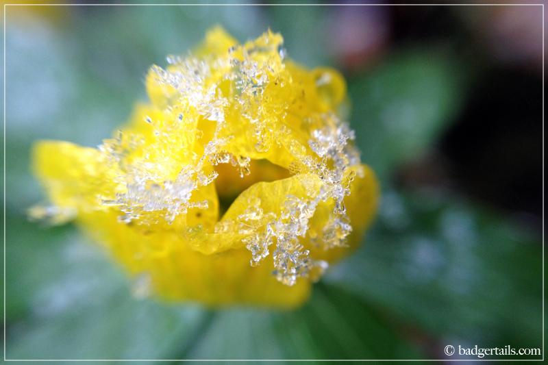 Macro - Yellow Winter Aconite in Snow