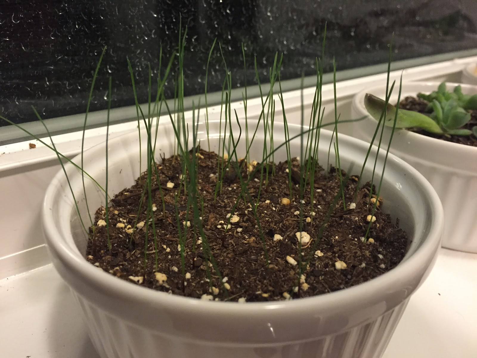 blue fescue seedlings