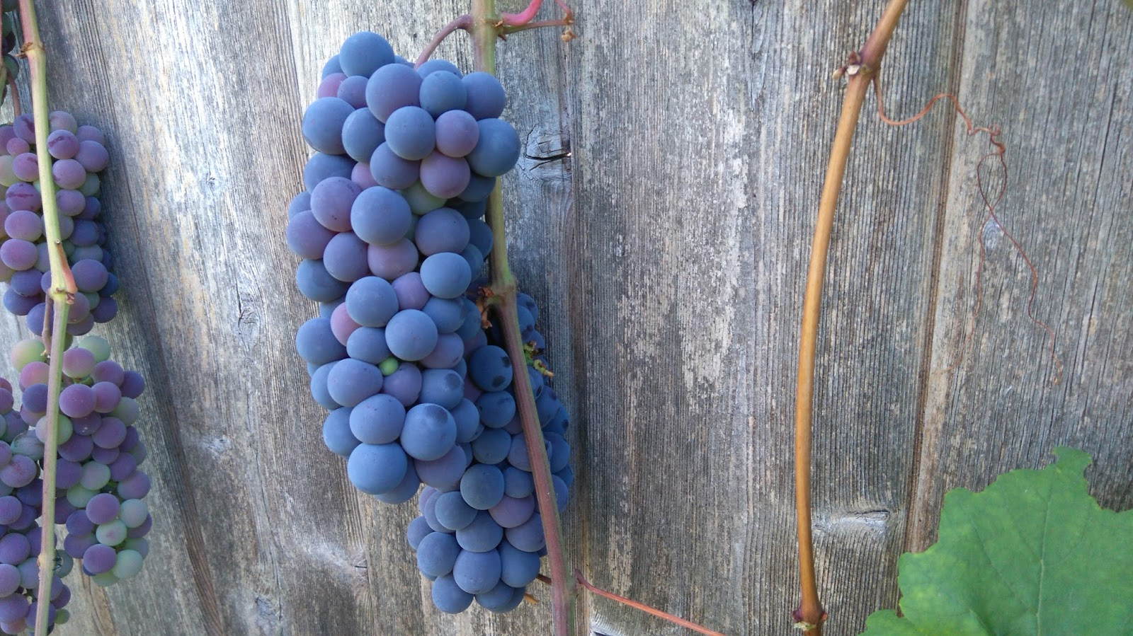 motherkerala com how to grow grapes in your backyard