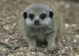Meerkats picture