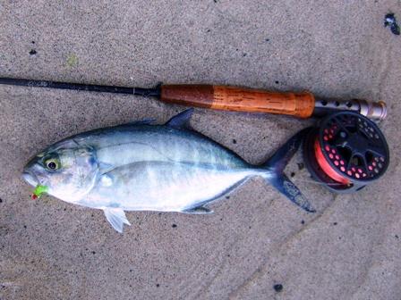 Fish identification green jack blue runner bluestripe for Blue runner fish