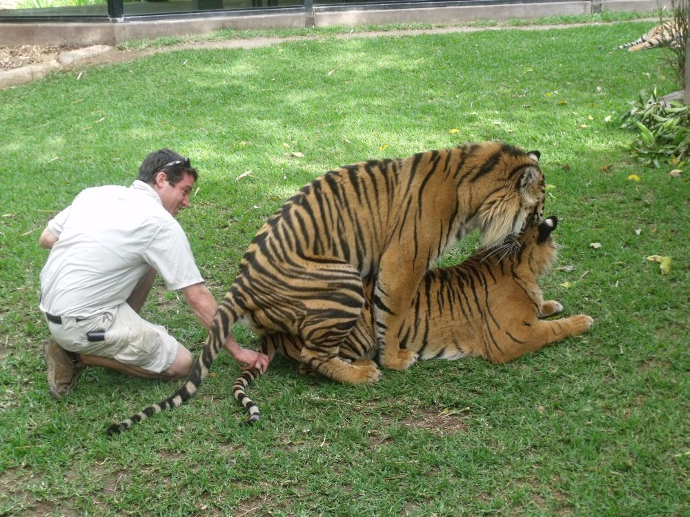 Zoologist With Tiger Australian zoologist breeding tigers  posted by    Zoologist With Tiger