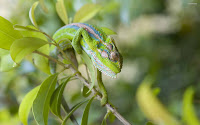 Macro Chameleon Picture and Photo 22