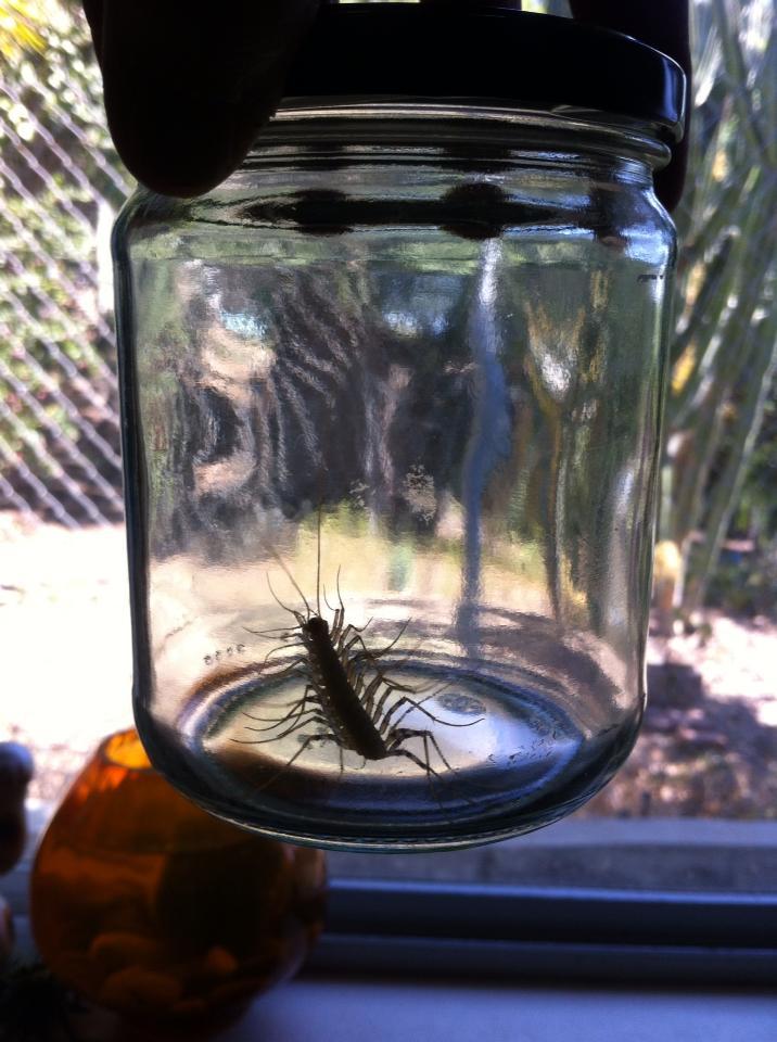 Sink Bugs  Bathtub Bugs  Eyelash Bugs  or House Centipedes. Nature Gardens   NHM  L A  s Urban Nature  Sink Bugs  Bathtub Bugs