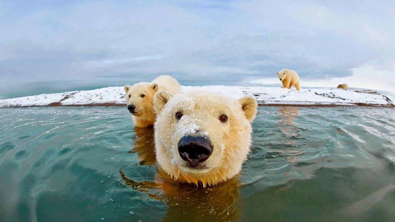Polar bears, Arctic National Wildlife Refuge, Alaska (© Steven Kazlowski/SuperStock) 252