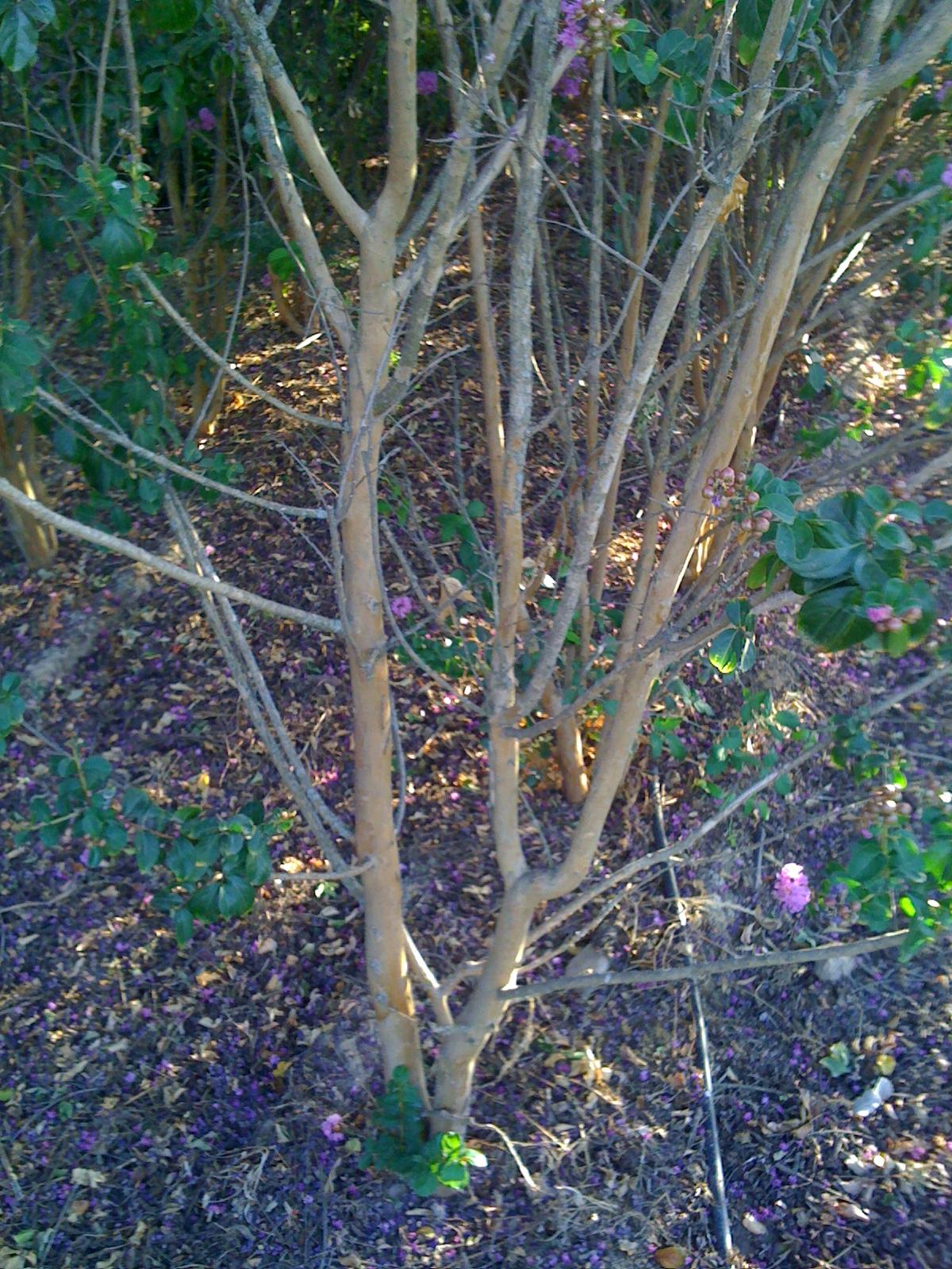 Vivero arboles ornamentales lagerstroemia indica maceta y for Viveros arboles ornamentales