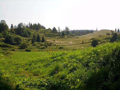 Owce w rezerwacie Biała Woda