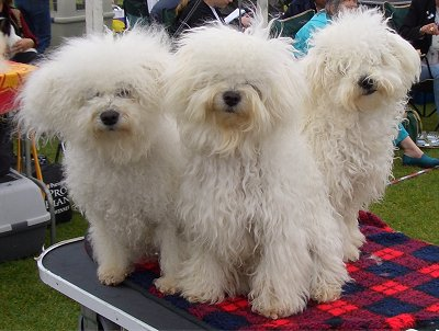 Kinda like miniature white sheep dogs, don't ya think? I guess the