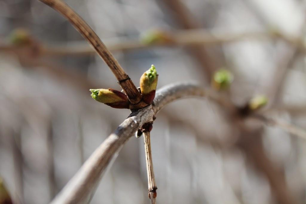 Spring buds.