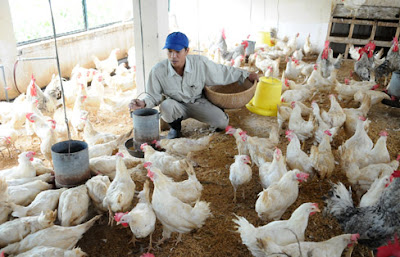 Gia nhập TPP: Ngành chăn nuôi cần chuẩn bị gì cho cuộc chơi mới này?