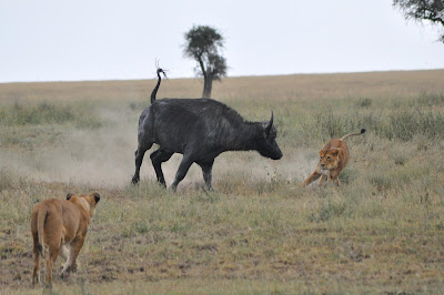 african animals of buffalo attacks images