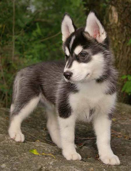 Siberian Husky Puppy Pictures