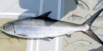 Seputar Ikan Bandeng
