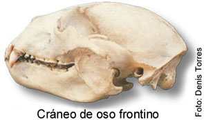 Cráneo del Oso Frontino