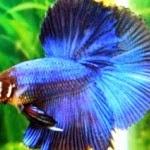 How to Clean Betta Fish Aquarium - Ornamental Fish Tips