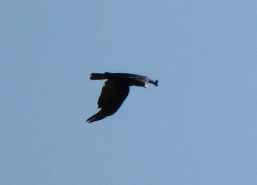 Pioneer birding ma fish crow at turner 39 s falls 08 30 for Fish crow call