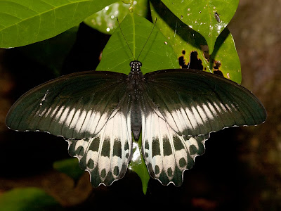 Butterfly Roosting