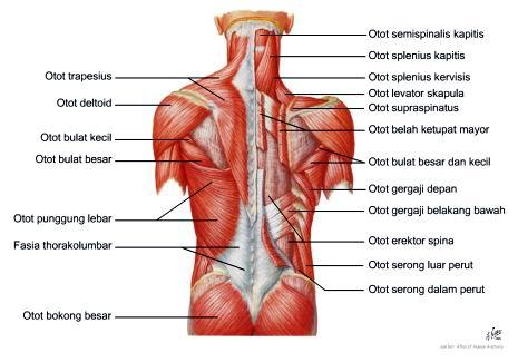 Otot Sistem Gerak Manusia