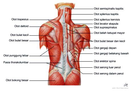 Gambar Organ Tubuh M Ia