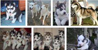 Siberian husky Puppy Breeders