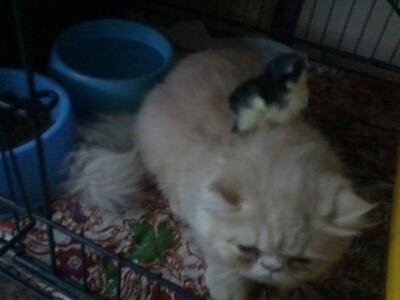 Kucing Parsi Dan Anak Ayam