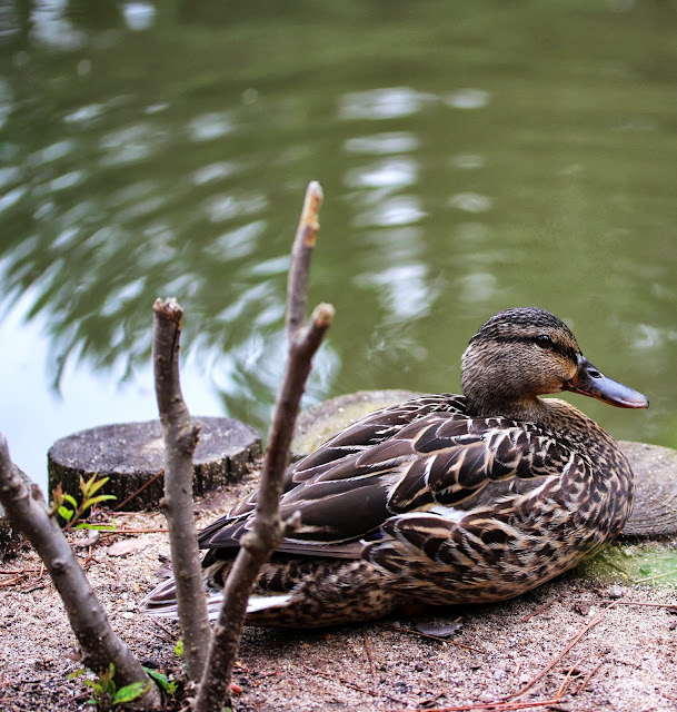 Female Duck by Pond ~ Photo by ChatterBlossom #duck #bird #photograph