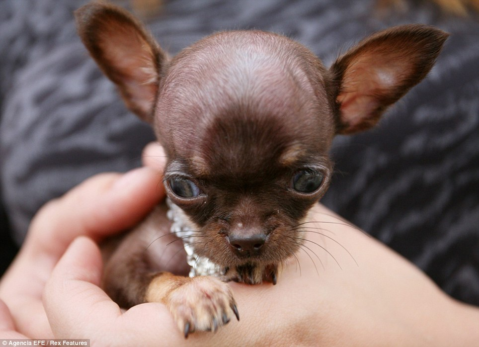 the owners of milly the chihuahua are going to present the dog to the guinness book of records because they believe she is the smallest in the world she - Smallest Cat In The World Guinness 2012