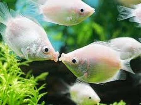 the kissing gourami is really a peaceful freshwater fish