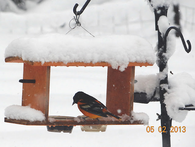 Oriole on snow-covered feeder in May