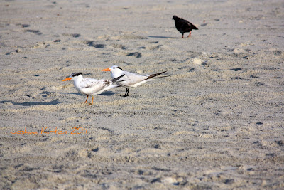 Least Tern and Pigeon on Florida Beach