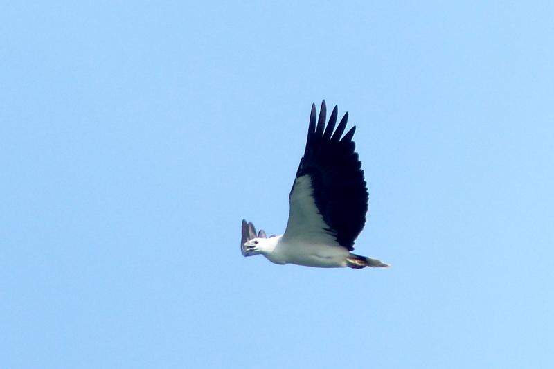 Vietnam Bird News: Nicobar Pigeon in Con Dao
