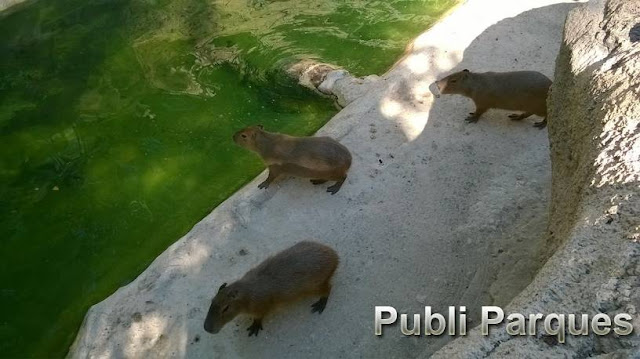 capibaras de Terra Natura Benidorm