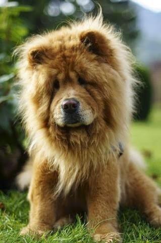 See more Cute Chow Chow puppy http://cutepuppyanddog.blogspot.com/