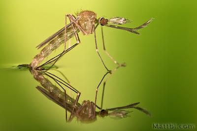 http://gubuk-fakta.blogspot.com/2013/12/mengapa-nyamuk-bisa-berdiri-di-atas-air.html