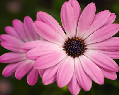 Pink Flower Computer Backgrounds