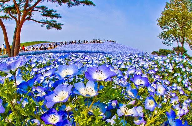 Fascinantes campos azules, no son de otro planeta son de aquí de la Tierra Azules6