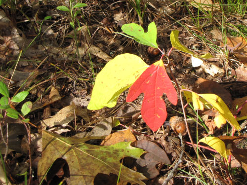 red sassafras leaf