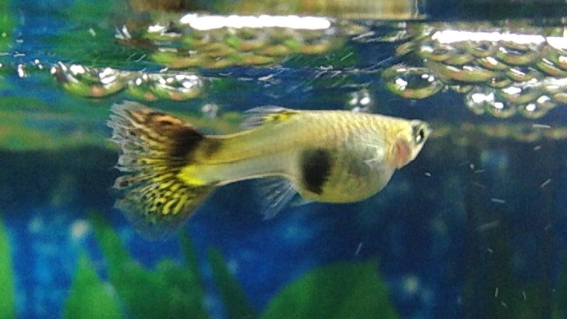 Guppy+Breeding Guppy Breeding Project Guppy Fish Eggs In Tank