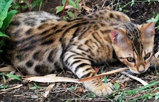 Bengal cat personality, cost, breeders