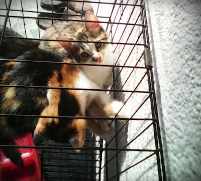 kucing, anak kucing, calico