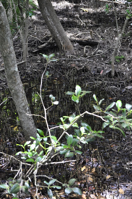 Mangroves along Friendship Walk