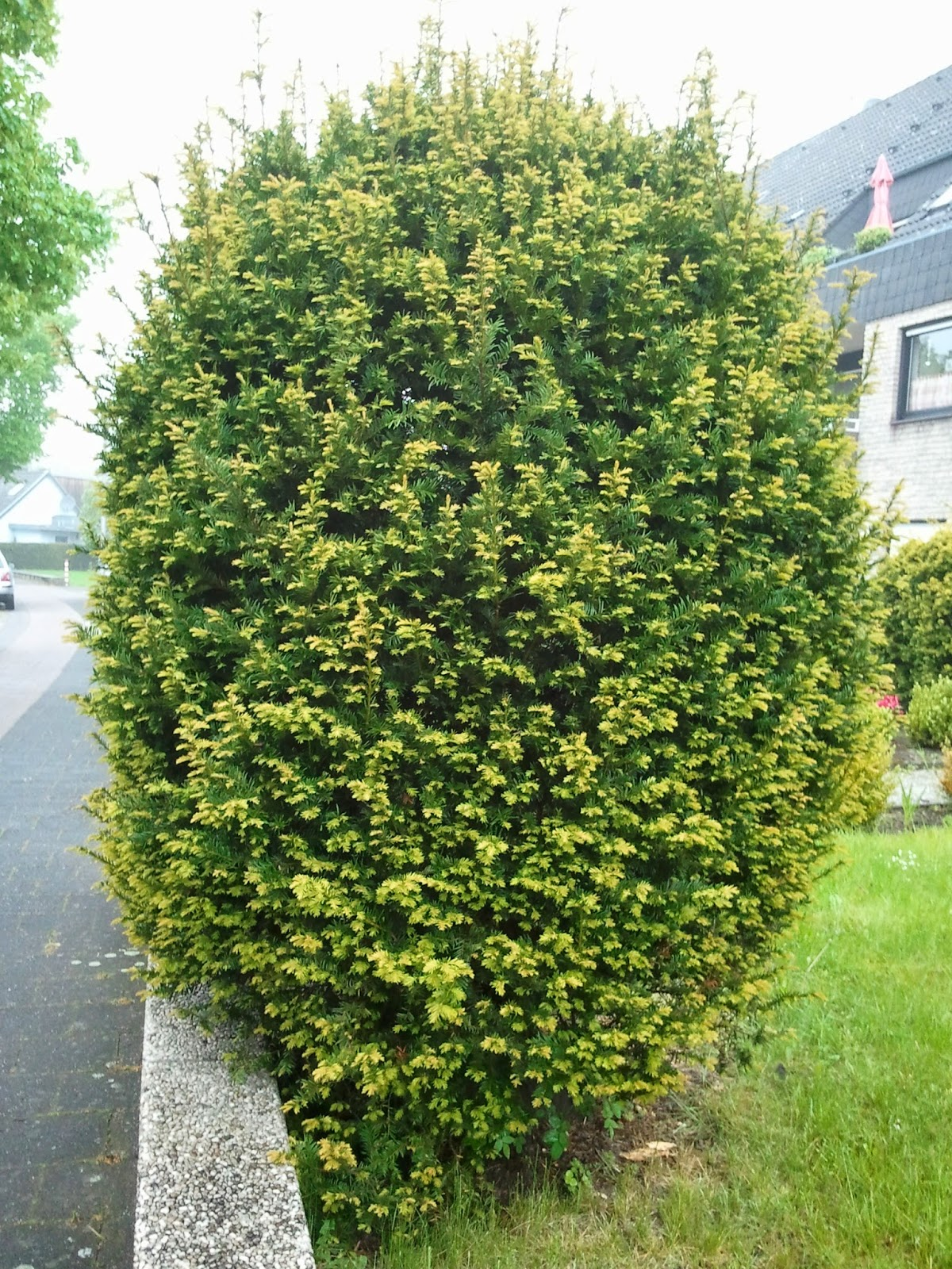 shrub,shrub picture, image
