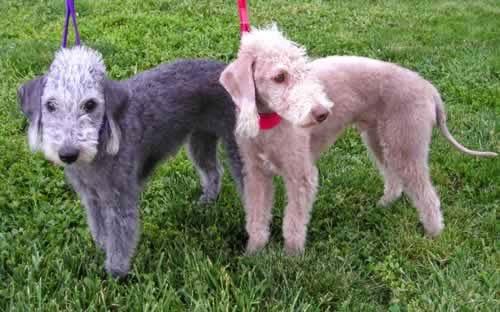 veterinaria online toxicosis por cobre en perros