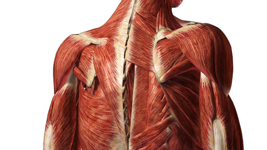 Human Anatomy 3d View Human Anatomy