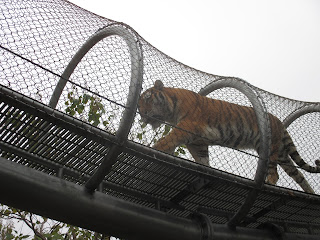 tiger pacing overhead